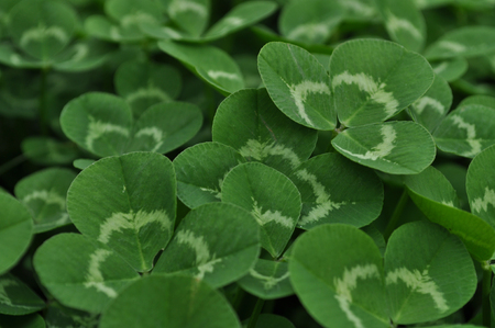 clovers Stock Photo