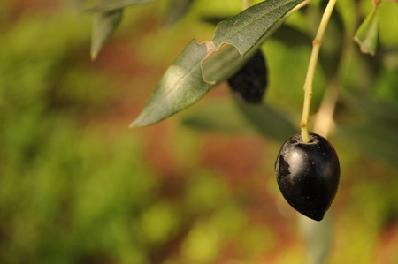 black olive Stock Photo