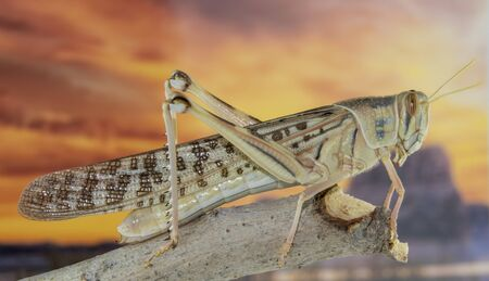 Large locust sitting on a branch with a stunning desert sunset in the background
