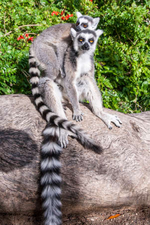 An Adult and a Juvenile ring-tailed Lemur sitting on a tree trunk in the green jungle enclosure of a zoo