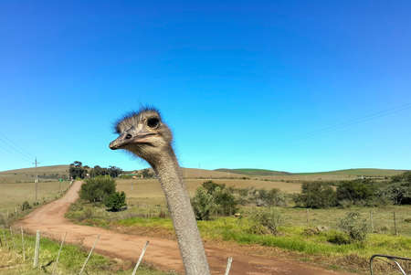 A close up of an Ostrich neck and head while it carefully studies the photographer in South Africa 스톡 콘텐츠