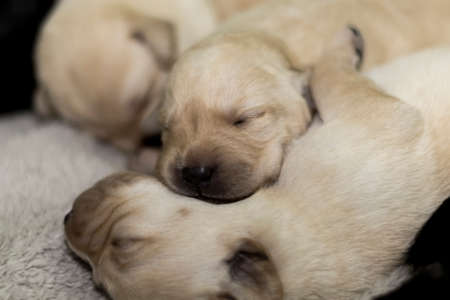 Labrador Retriever puppies sleeping after breastfeeding from their mother