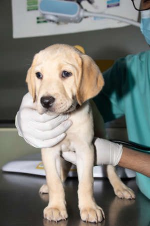 A Veterinarian examines a Labrador puppy's heart and lungs during a medical checkup