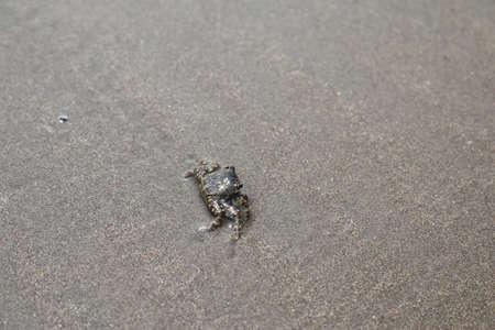 crab on the coast of the Arabian sea Фото со стока