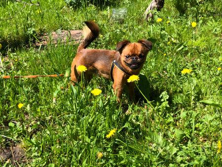 a small brown dog among dandelions