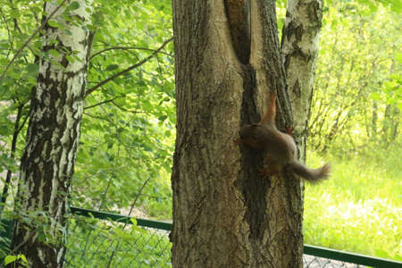 squirrel in a tree eats nuts in the park