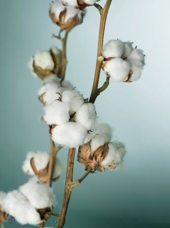 a bud: Cotton