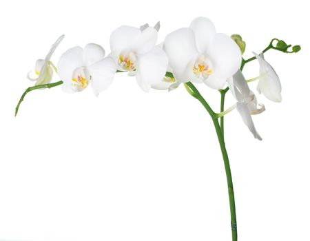 botanical branch: White Orchid isolated on white Stock Photo