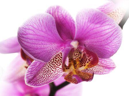 Beautiful pink orchid closeup photo