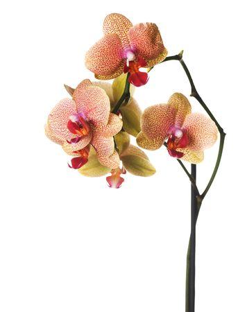 orchidee: Macchiato Orchid isolata on white