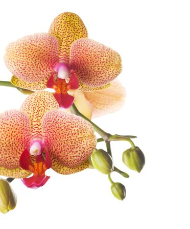 blancos: Hermosa frontera de orquídea, aislado en blanco Foto de archivo