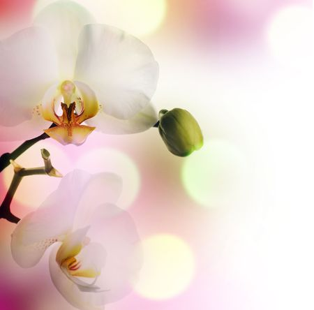 a bud: Beautiful Orchid  Stock Photo