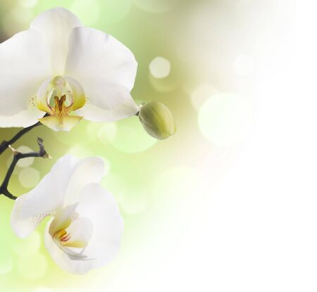 blue orchid: White Orchid