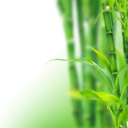 shoots: Frontera de bamb� sobre blanco