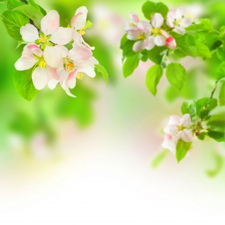 Apple Blossom.Selective focus photo