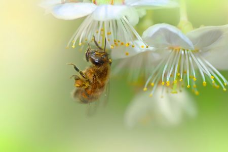 Working Bee on a spring Flowers photo