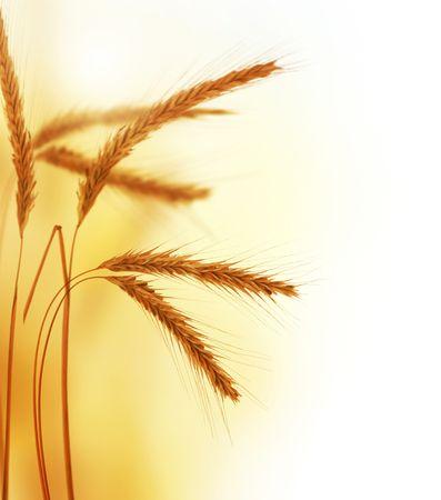 espiga de trigo: Trigo