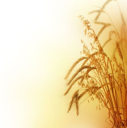 Growing Wheat .Over white Stock Photo - 6463162