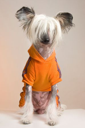 crested: Chinese Crested Dog