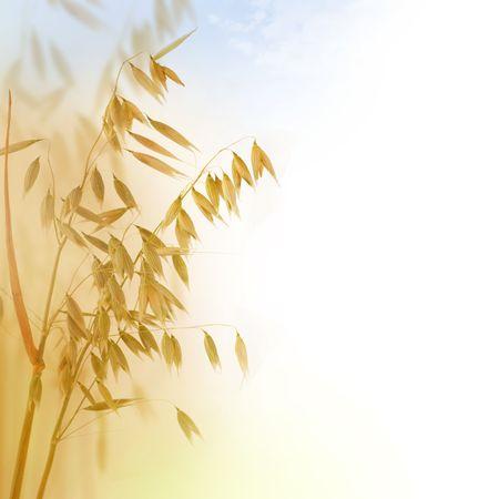 oat plant: Oat Ears Stock Photo