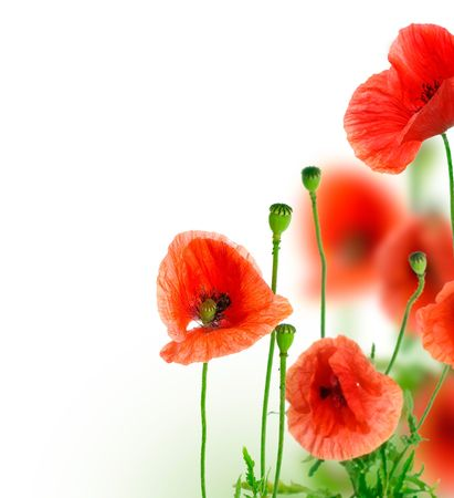 red poppies on green field: Poppies Border.Isolated on white