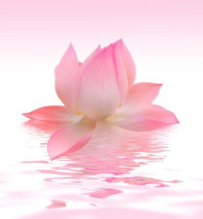 lake flowers: Lotus