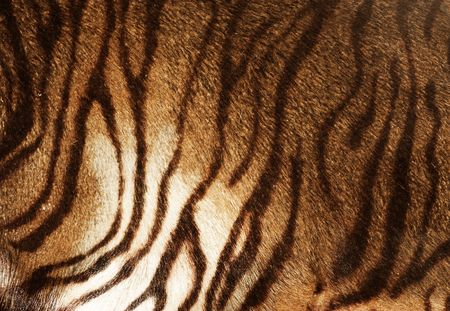 tiger hunting: Tiger Texture Stock Photo