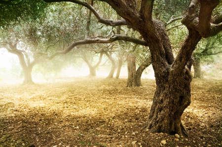 arboleda: Olivo