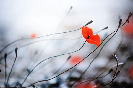 flor silvestre: Amapolas