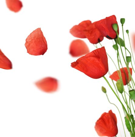 wind up: Poppy with flying petals over white Stock Photo