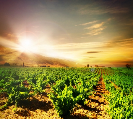 wineries: Vineyard Stock Photo