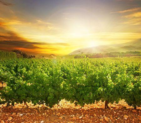 winery: Vineyard Stock Photo