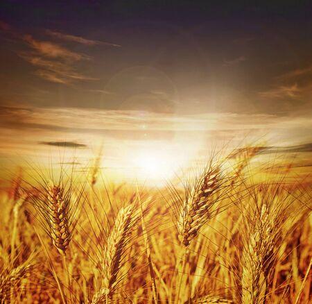 cebada: Wheat.Sunset hermosa  Foto de archivo