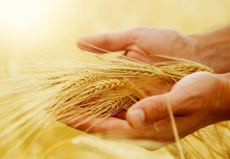 cebada: Concepto de Wheat.Harvest