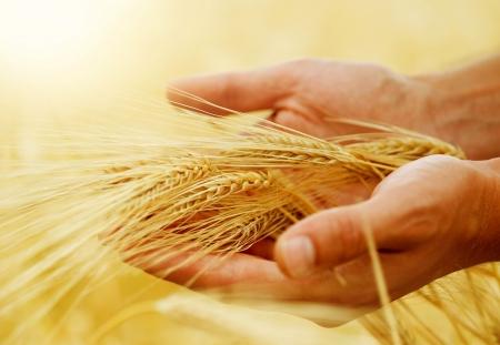 Wheat.Harvest concept