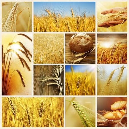 wheat fields: Wheat.Harvest concepts.Cereal collage Stock Photo