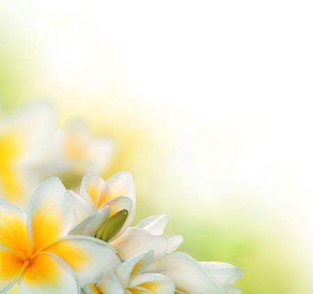 plumeria flower: Frangipani Spa Flowers Border