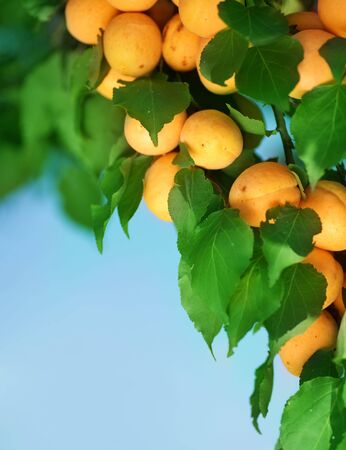 Growing Apricots Stock Photo - 7579192