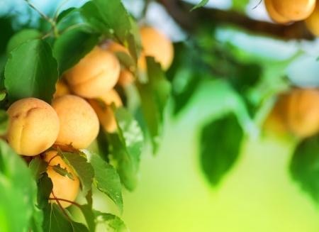 Apricot Stock Photo - 7579189