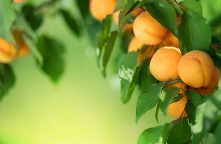 Apricot frame Stock Photo - 7579194