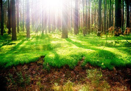 woodlands: Misty Old Forest