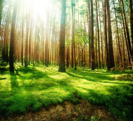 forrest: Misty oude bos