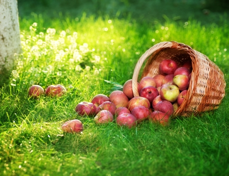 Healthy Organic Apples in the Basket. Stock Photo - 7812407