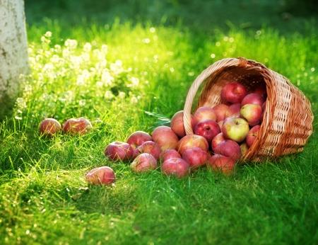 corbeille de fruits: Pommes organiques sains dans le panier.  Banque d'images