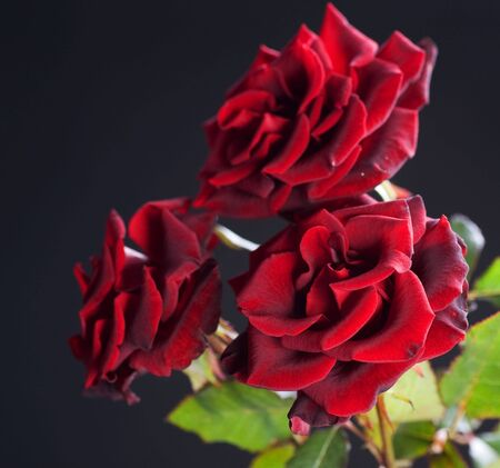 Beautiful Red Roses isolated on black photo