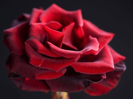 Beautiful red Rose over black  background photo