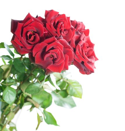 Beautiful Red Roses isolated on white photo