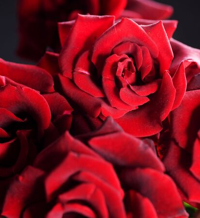 Red Roses background photo