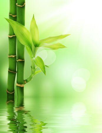 lucky bamboo: Bamboo