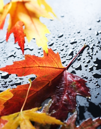 autumnal: Autumn wet leaves over black  Stock Photo